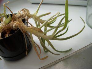 Как спасти умирающее растение?