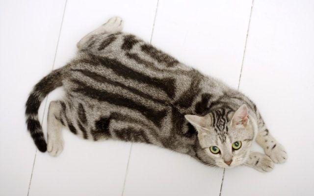 Полосатая кошка