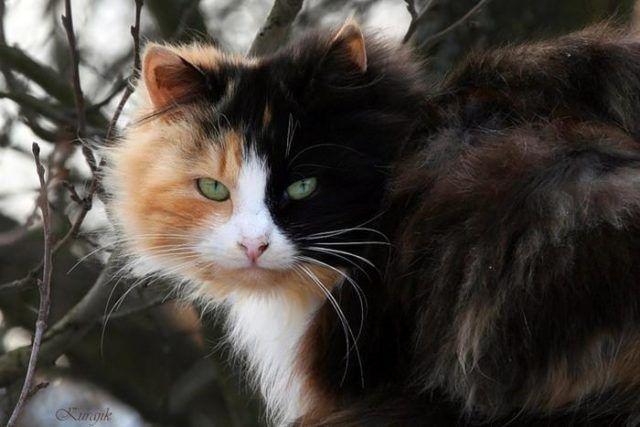 трехцветная кошка досток 🔴 Благополучие очага 6 примет связанных с кошками